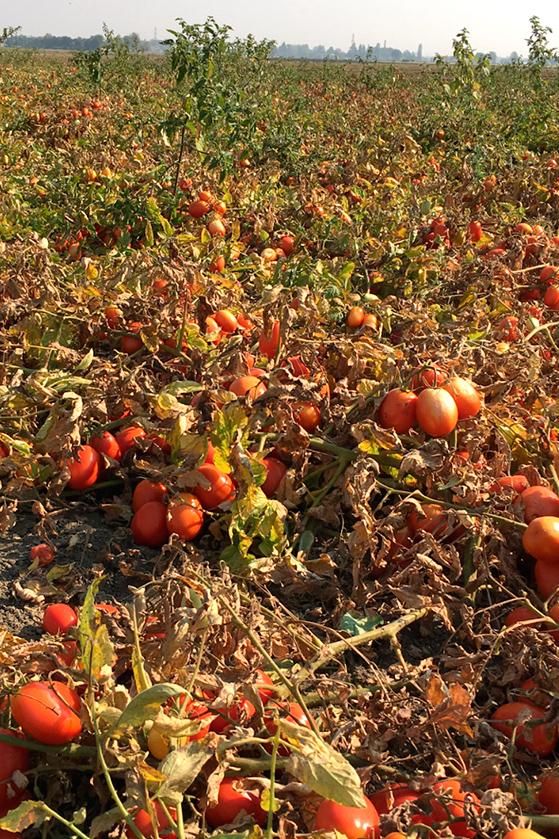 Champs de tomates chez les soeurs Ponzi