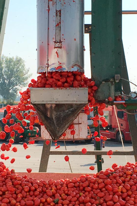 Prélevement d'un échantillon de tomates chez Mutti